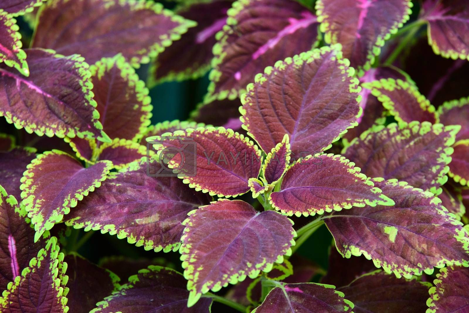 floral background of Coleus (Painted Nettle)  by jakgree