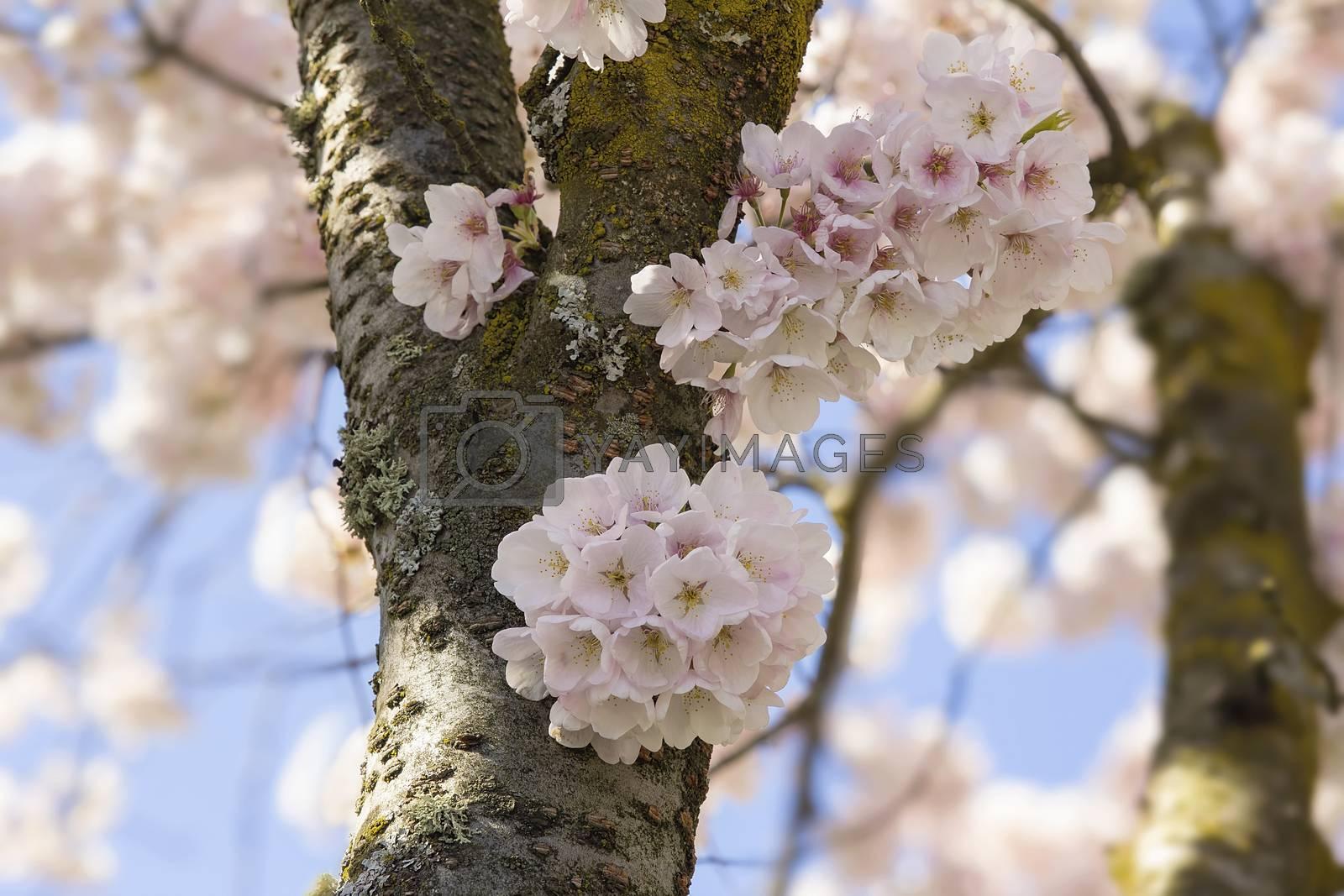 Cherry Blossoms Sakura Flowers Closeup by jpldesigns