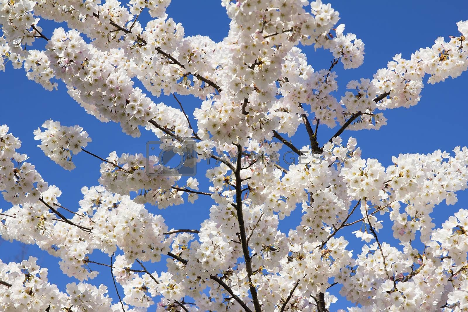 Cherry Blossoms Flowers in Full Bloom by jpldesigns