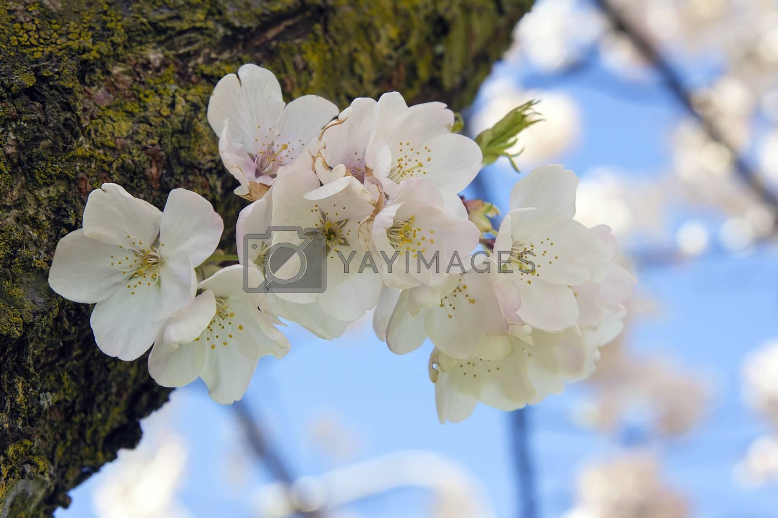 Cherry Blossoms Sakura Flowers Macro by jpldesigns