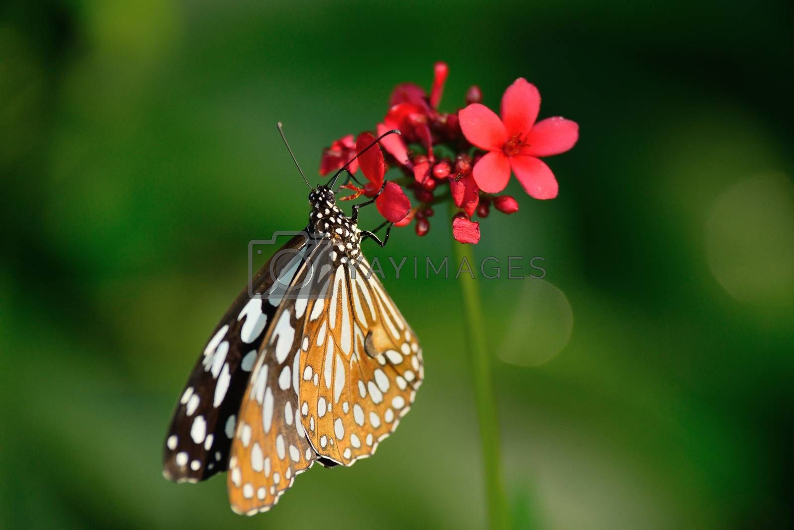 beautiful butterfly sitting in the flower by jakgree