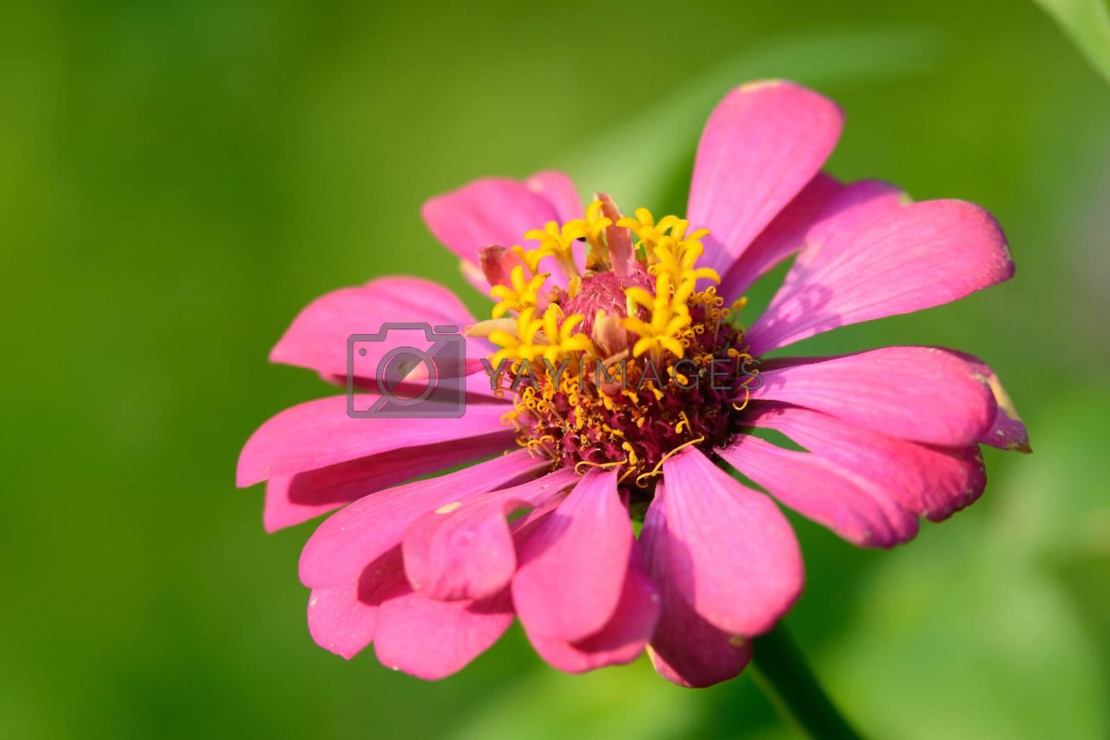 pink Zinnia by jakgree
