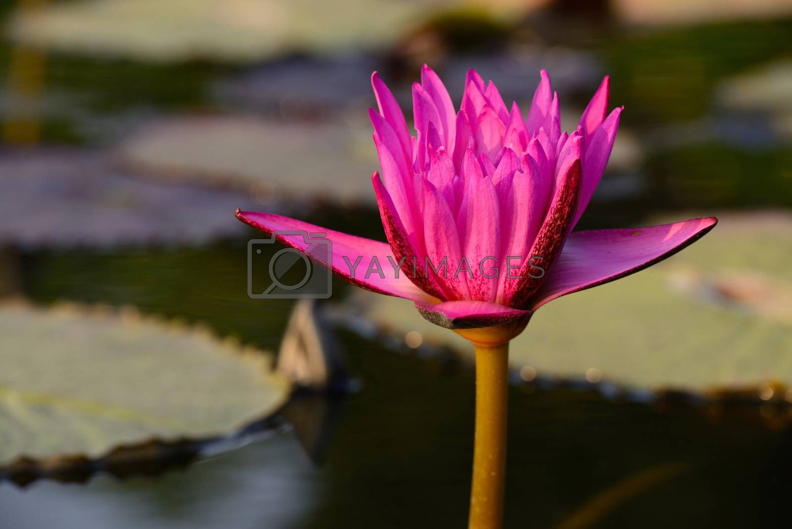 Close-up of colorful pink water lily by jakgree