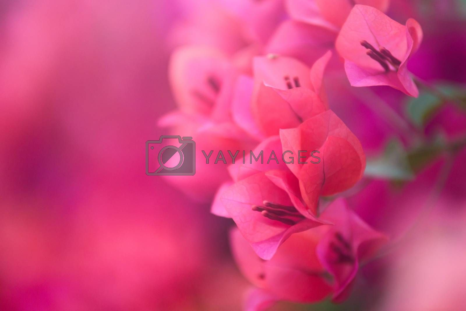 Pink bougainvillea blooms in the garden, soft focus by jakgree