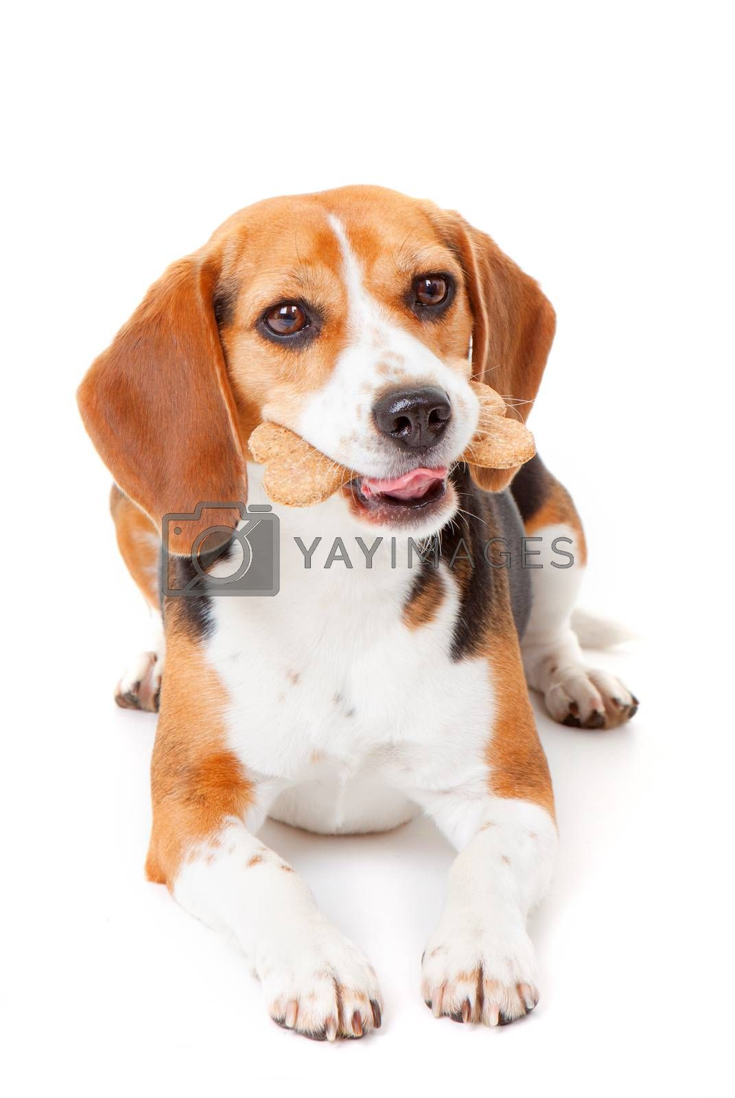 beagle dog with bone shaped dog biscuit