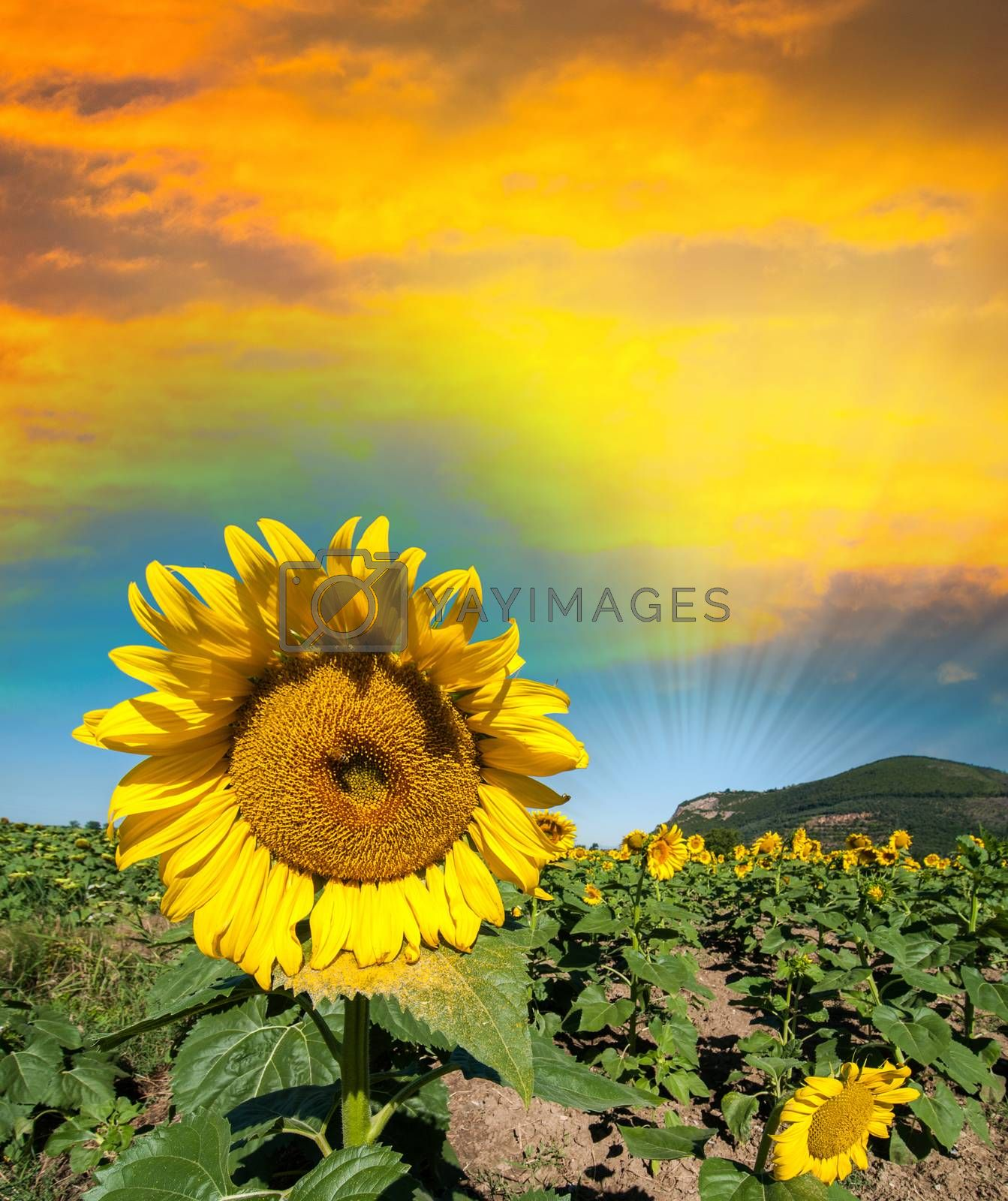 Beautiful sunflower on a field in summer by jovannig