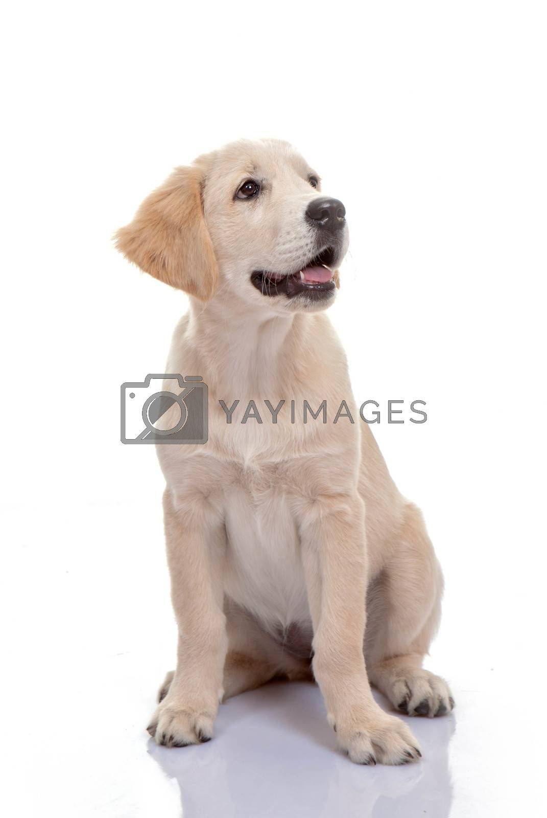 healthy golden labrador puppy by mandy_godbehear