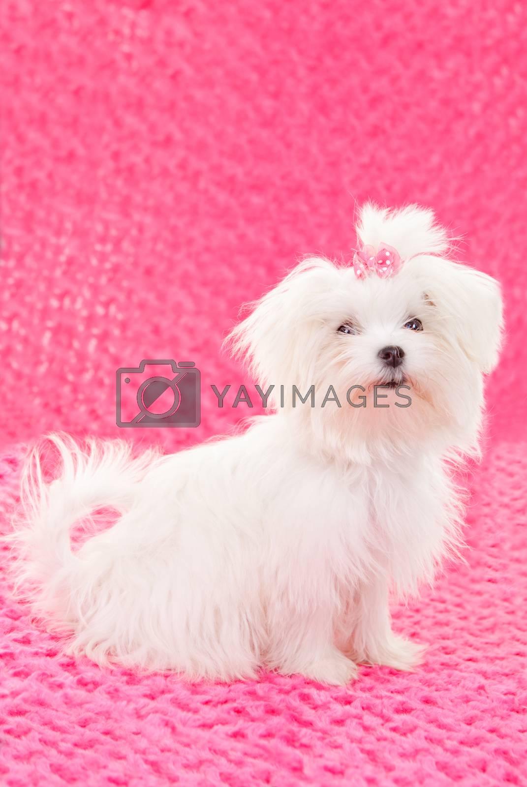 maltese dogs by mandy_godbehear