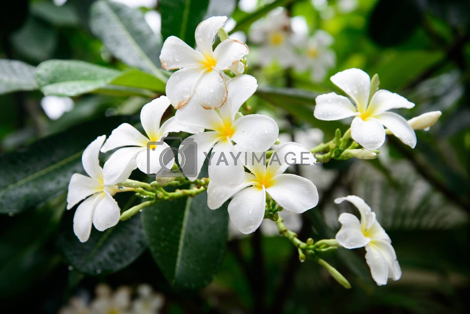 White Frangipani flower after rain  by jakgree