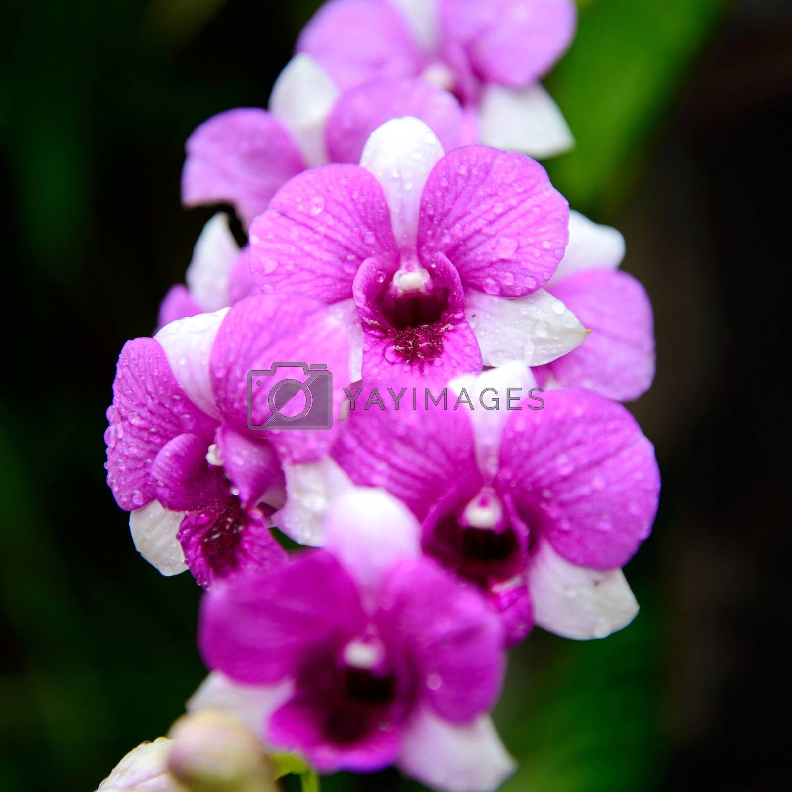 Flowers Orchid ( Dendrobium pink ) on green leaves background by jakgree