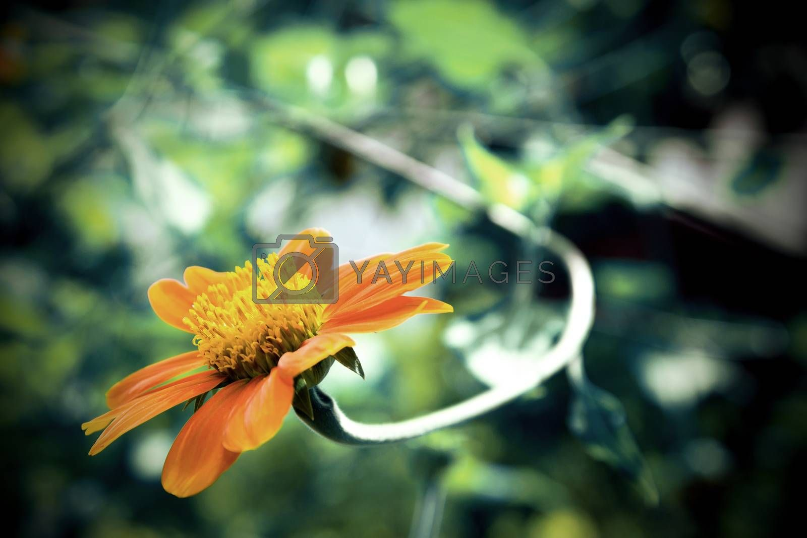 A close up of a Mexican Sunflower (vintage tone style) by jakgree