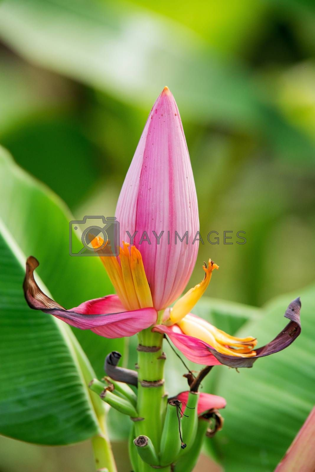 Pink banana flower close up by jakgree