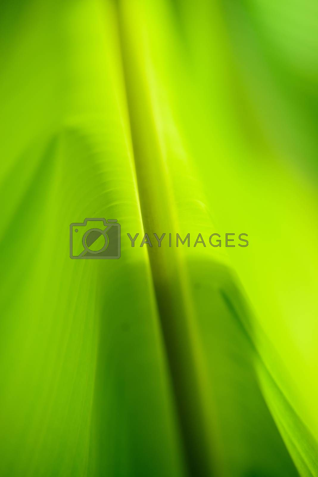 Banana leaves,Soft focus by jakgree
