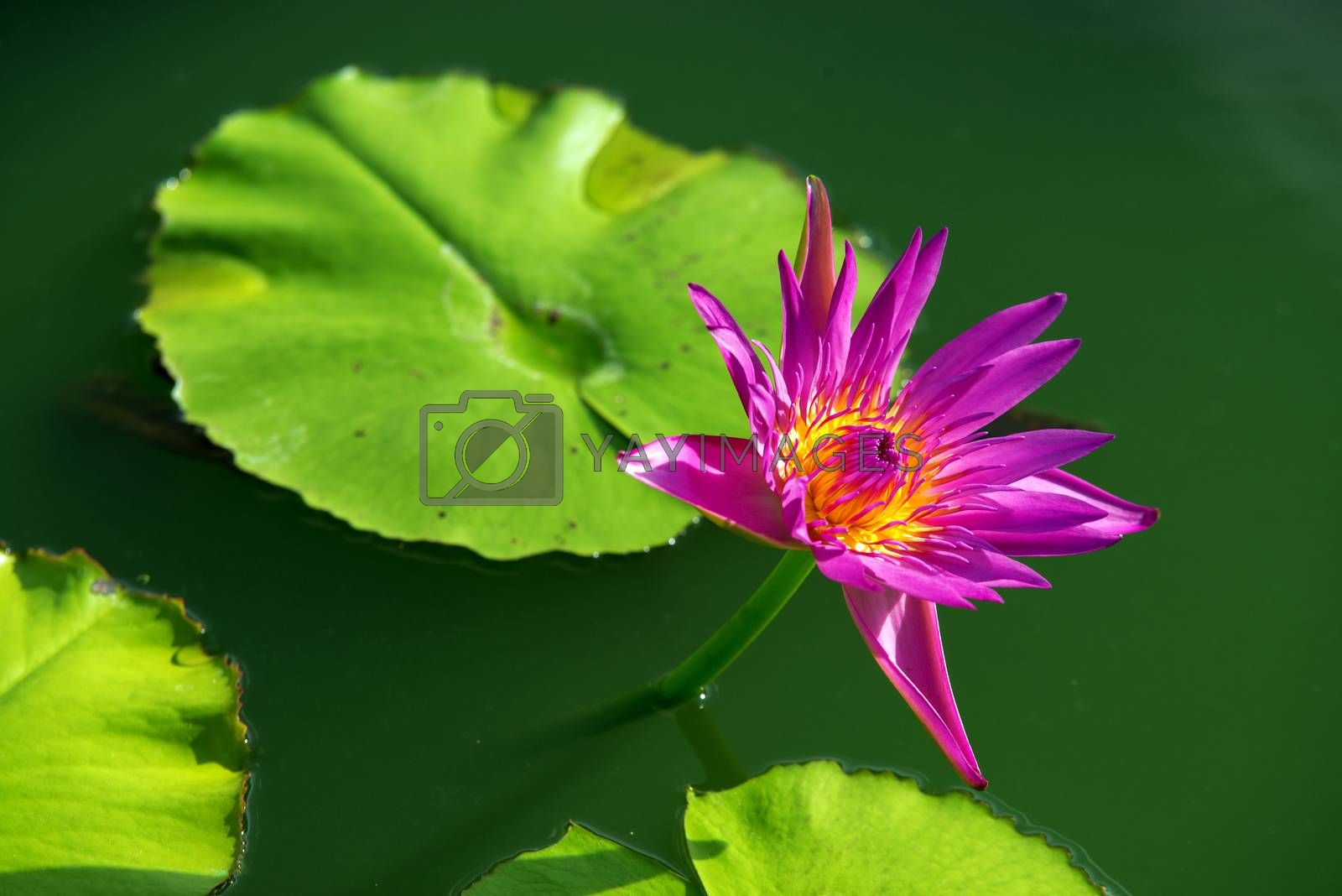 Close-up of colorful purple water lily by jakgree