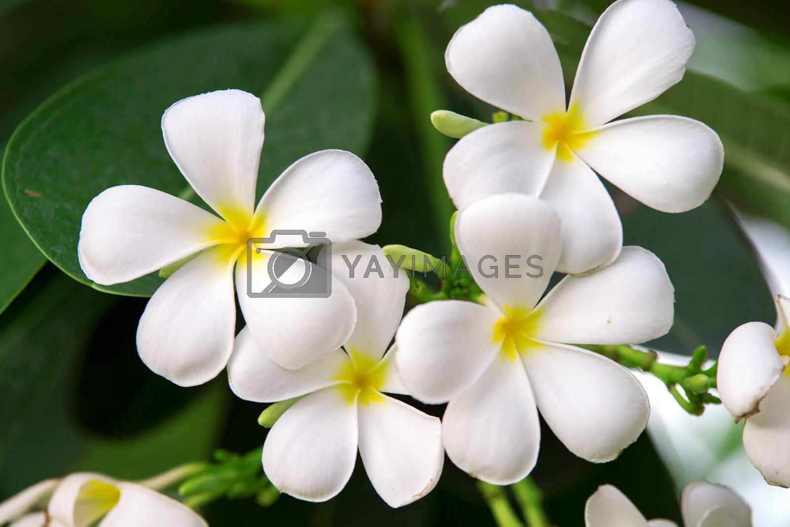Branch of tropical flowers frangipani (plumeria) by jakgree