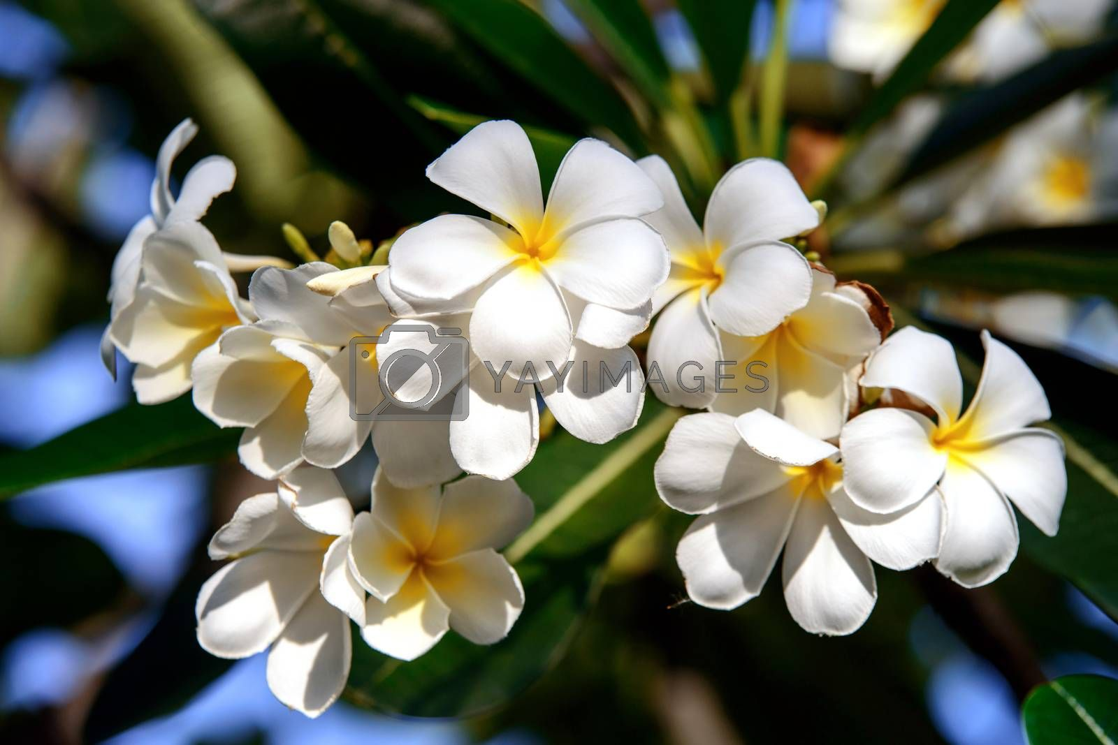 Branch of tropical flowers frangipani (plumeria) by jakgree