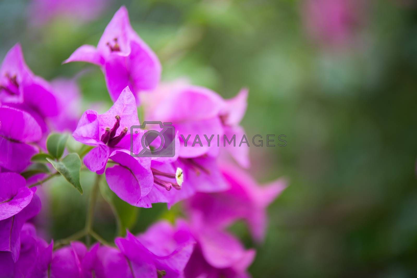 Bougainvillea blooms in the garden, soft focus by jakgree