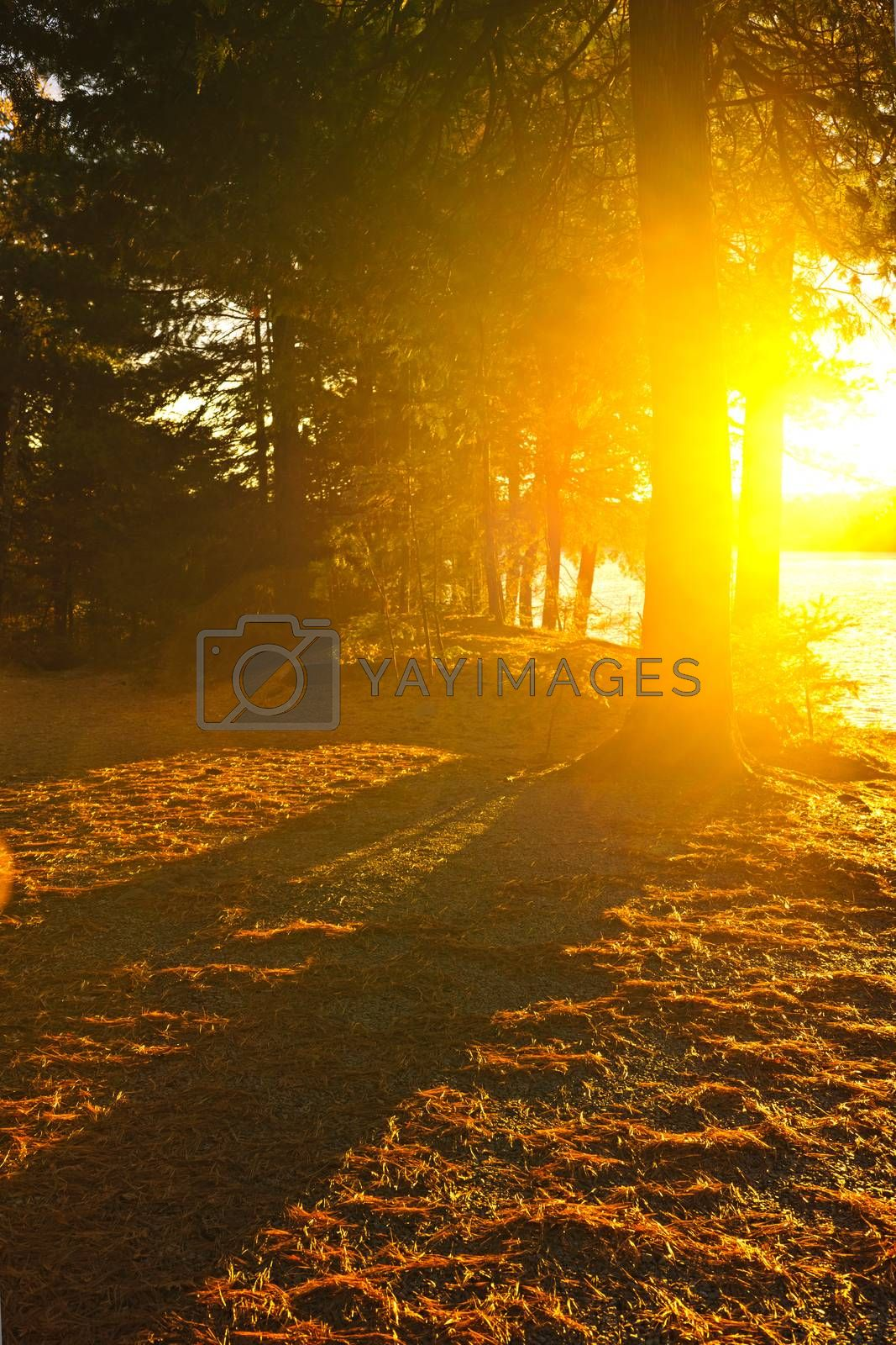 Sun shining through pine trees near Lake of Two Rivers in Algonquin Park, Ontario, Canada. Intentional lens flare.