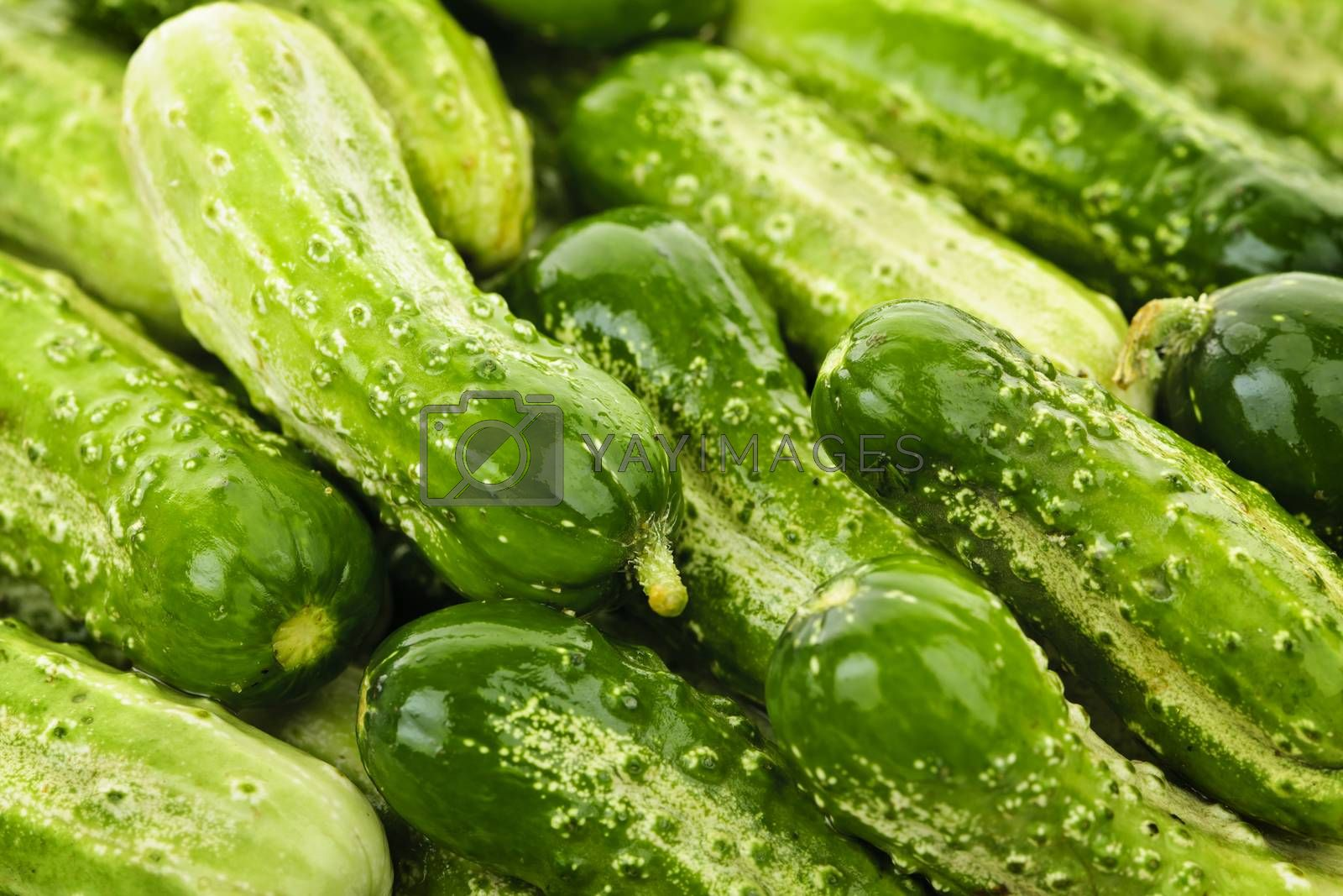 Fresh green cucumbers in a pile closeup, vegetable background