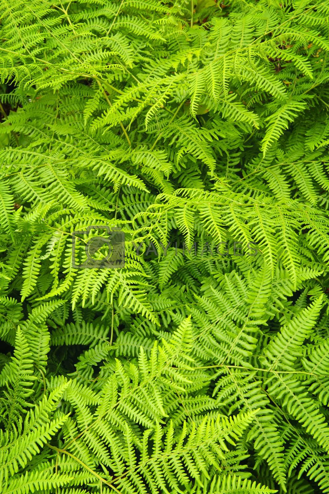 Background of lush bright green fern plants