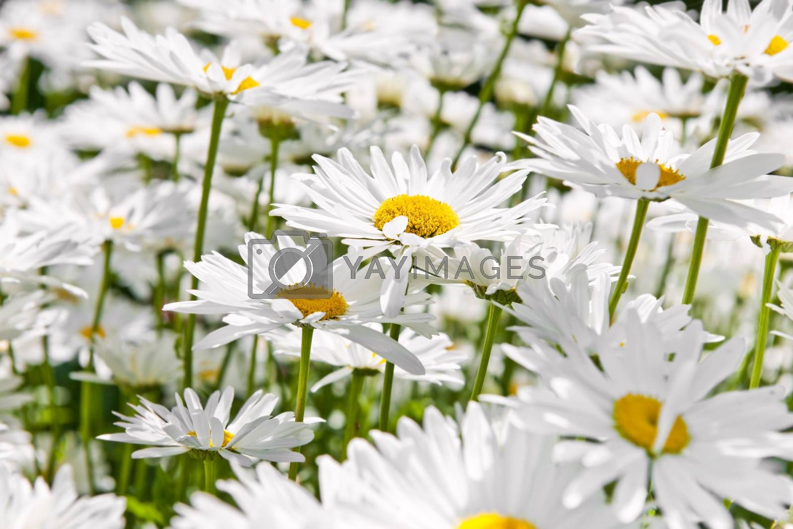 Close up of white daisy flowers blooming in garden