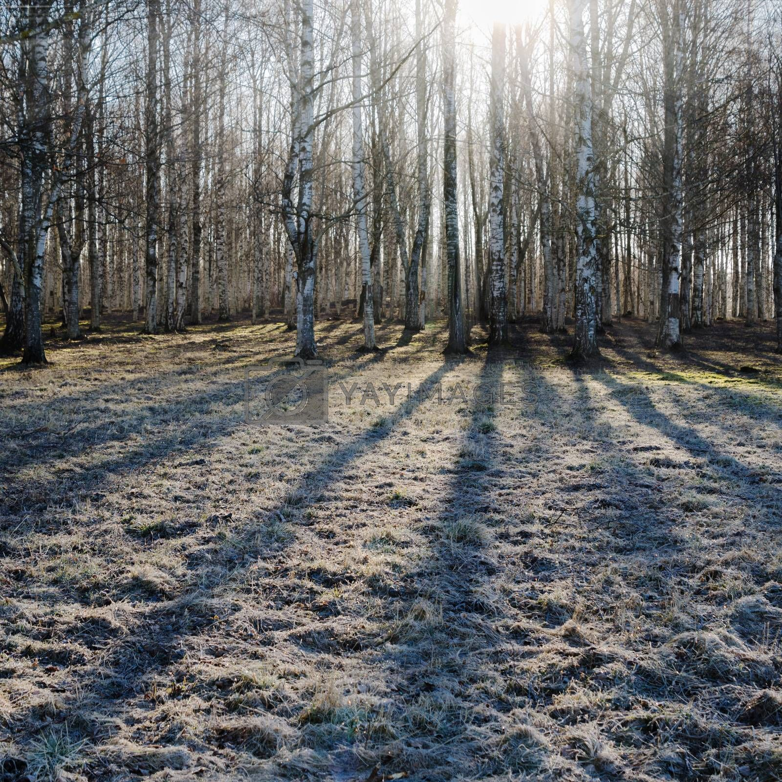 Royalty free image of Birch wood in the spring by breeze09