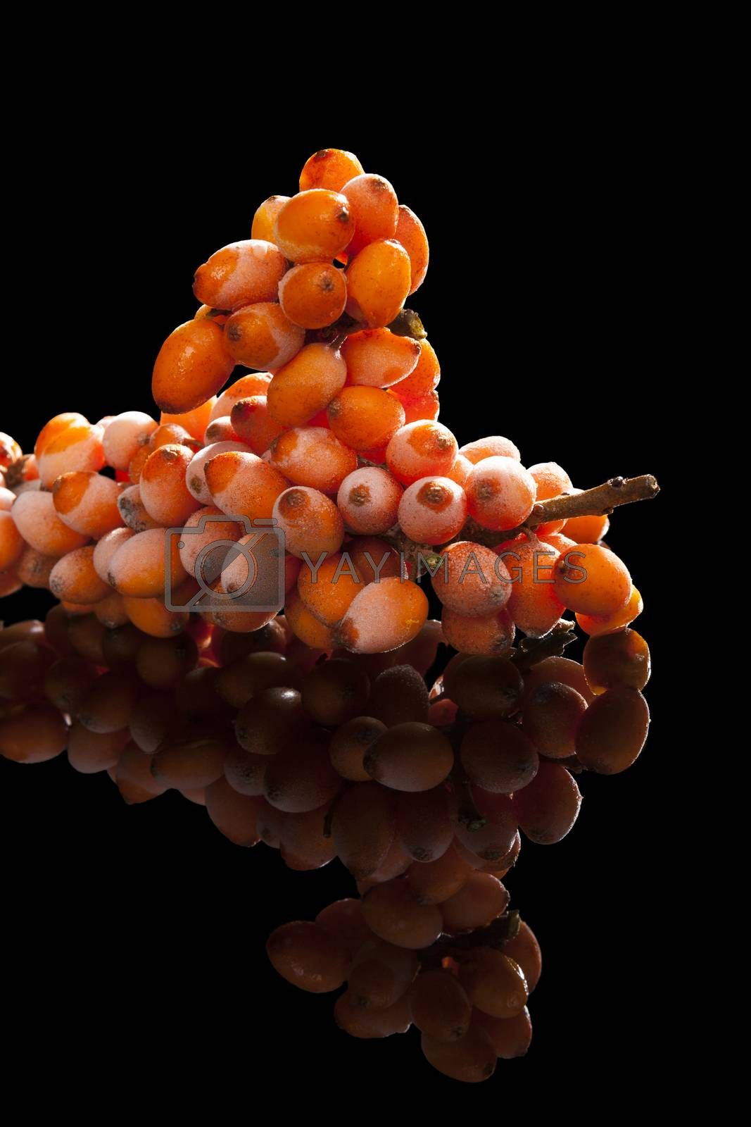 Seabuckthorn twig with frost on berries with reflection isolated on black background. Alternative medicine, natural antioxidant.
