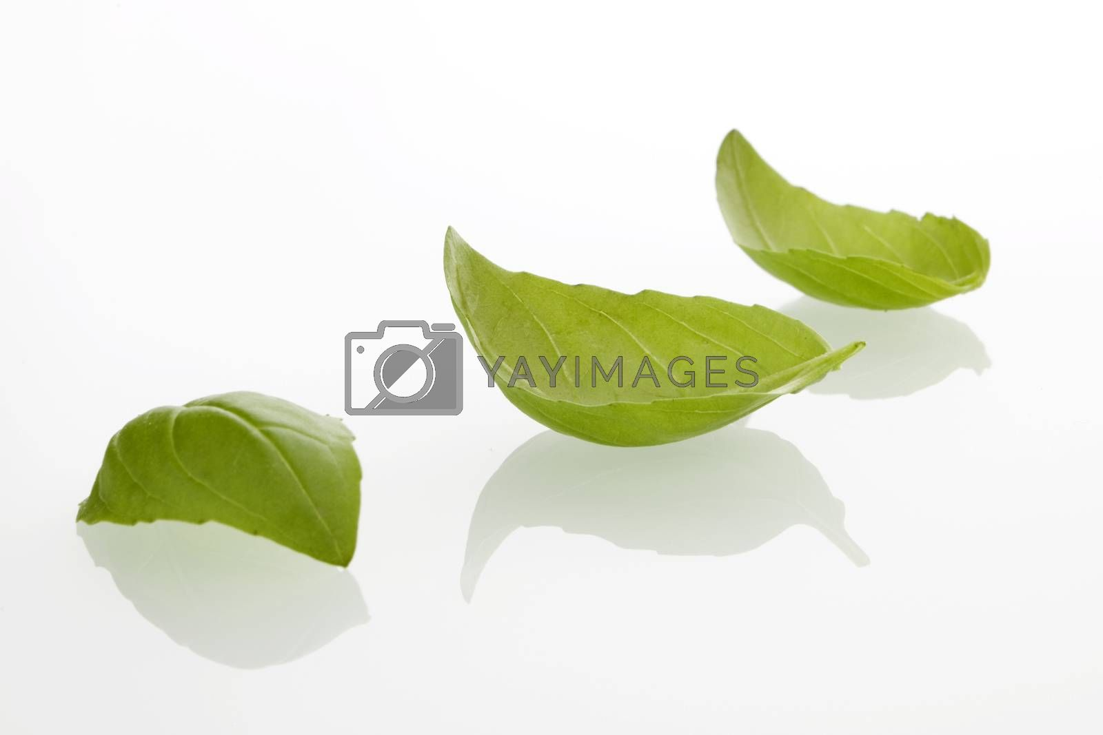 Fresh basil leafs on white background.