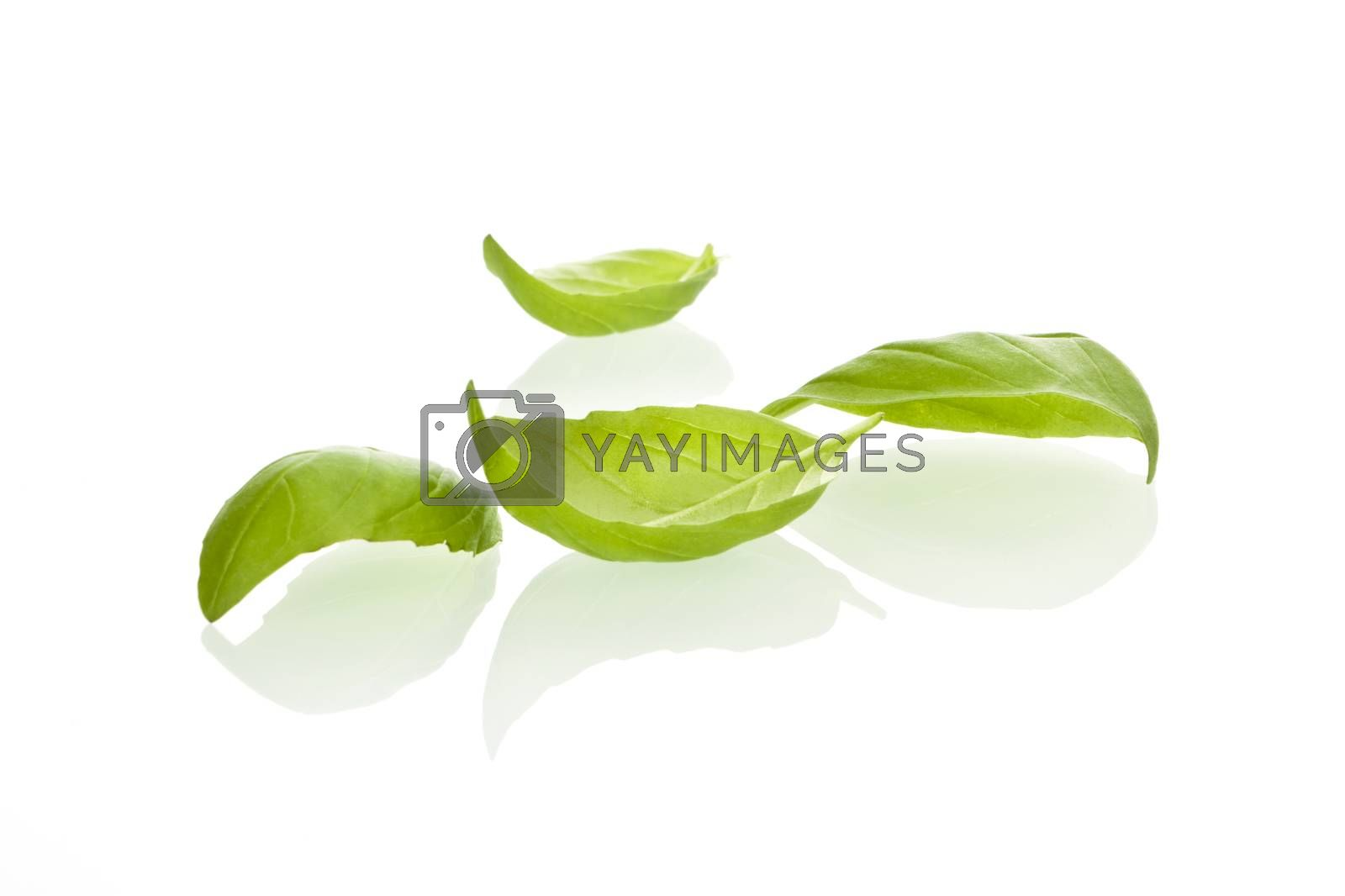 Fresh basil leaves on white background.