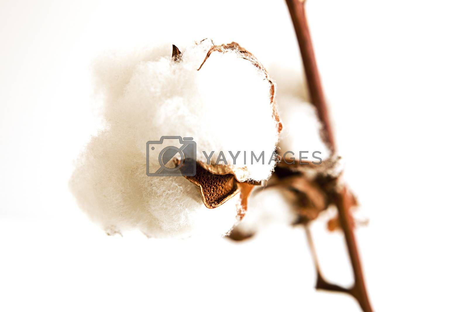 Ripe cotton bud cloes up on white background.