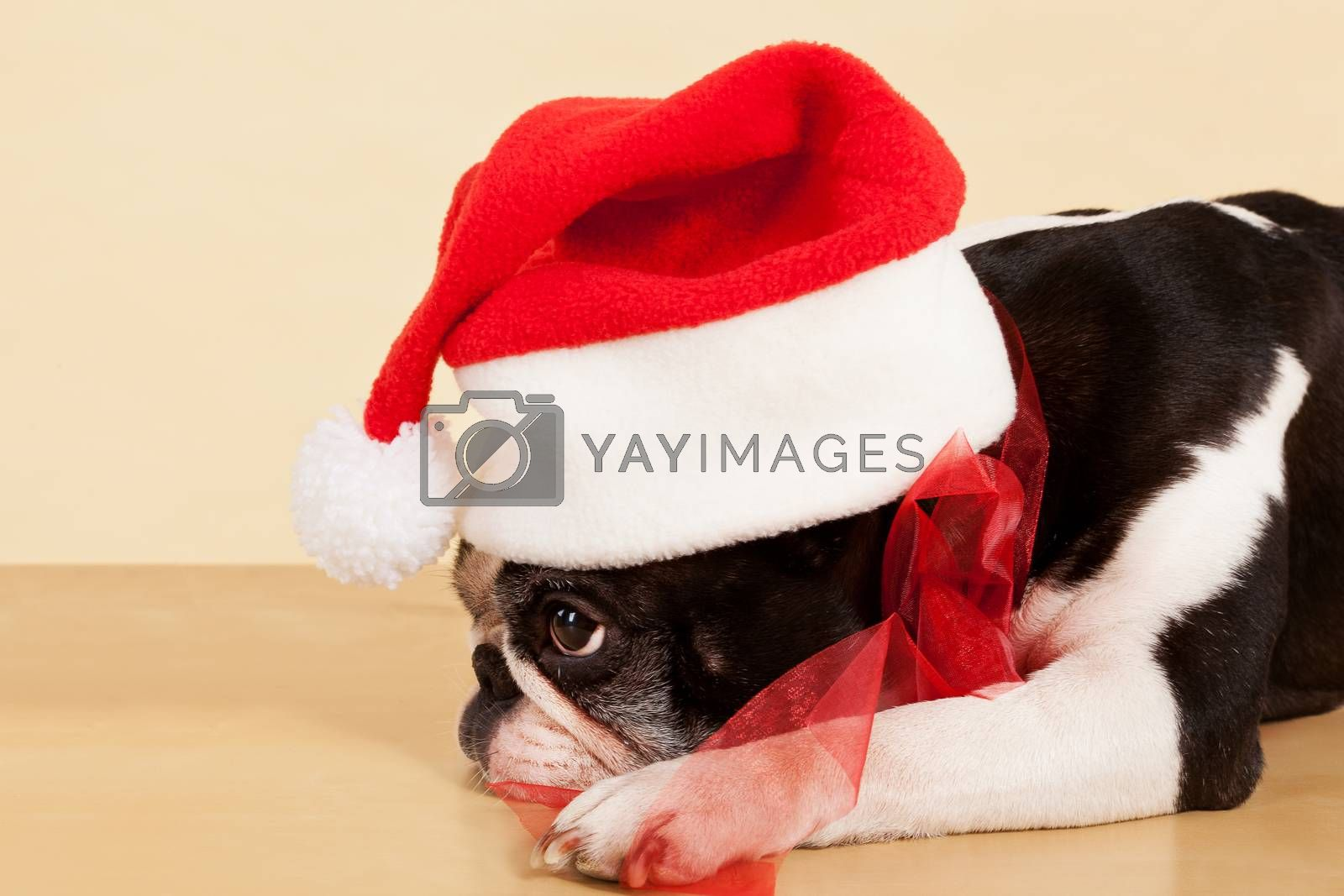 Cute sad french bulldog with christmas hat and red ribbon. Xmas present.