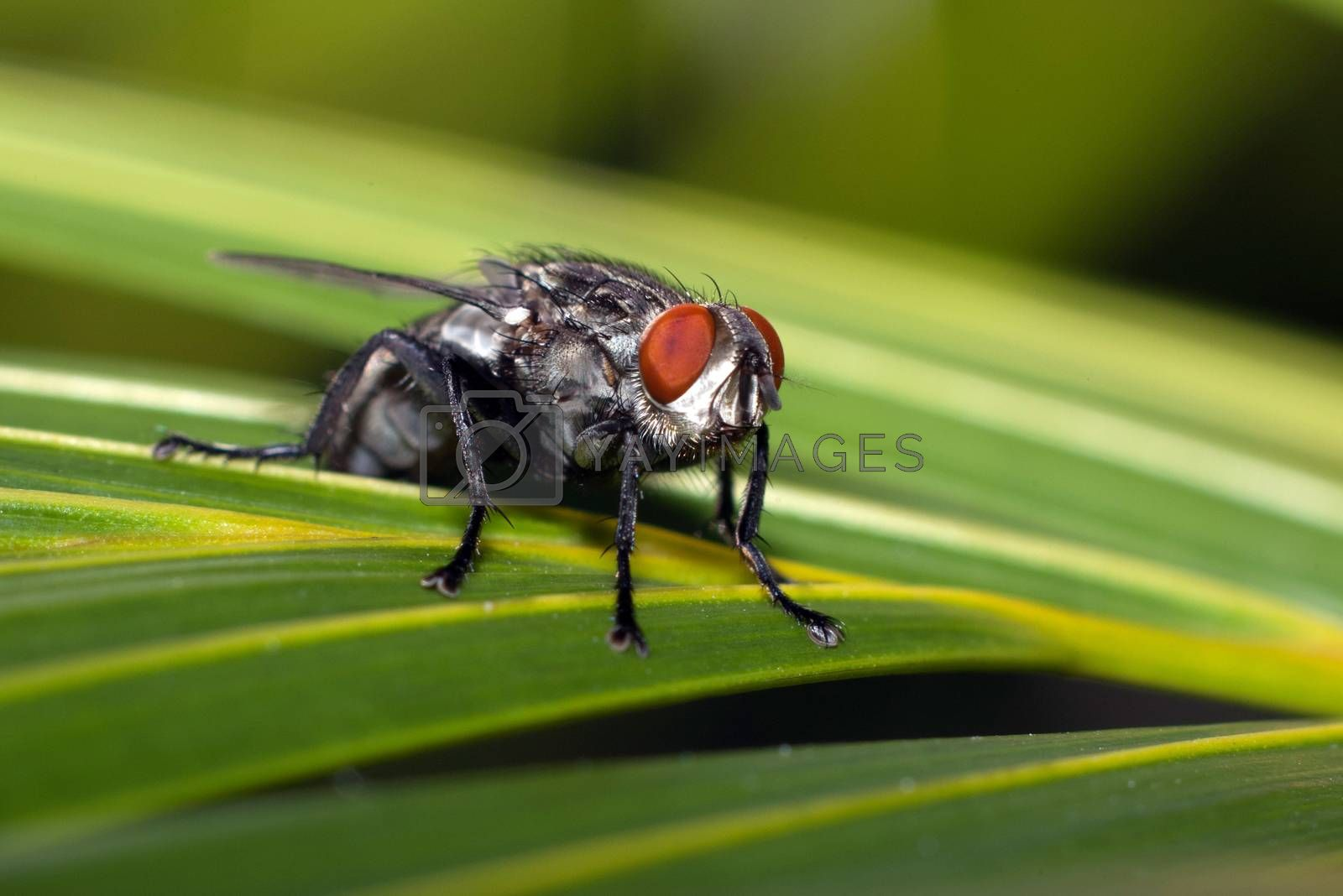 A fly standing on a leaf with green background
