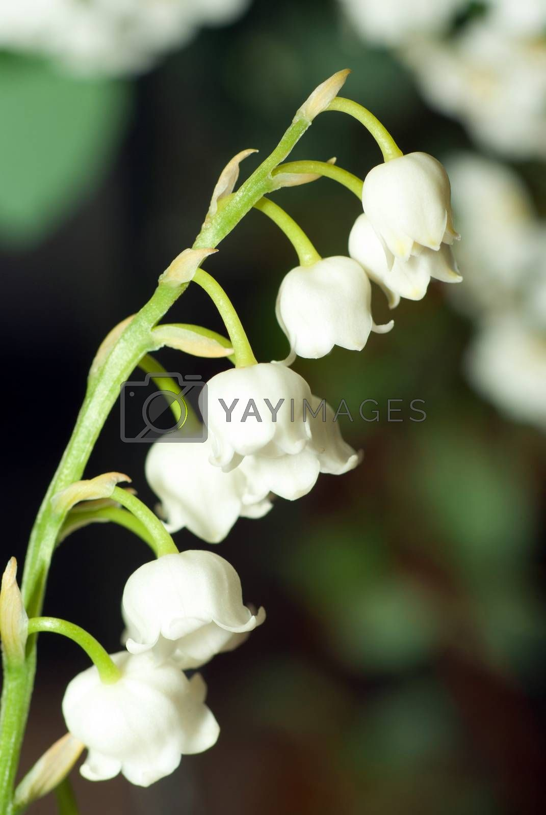 lily of the valley close up