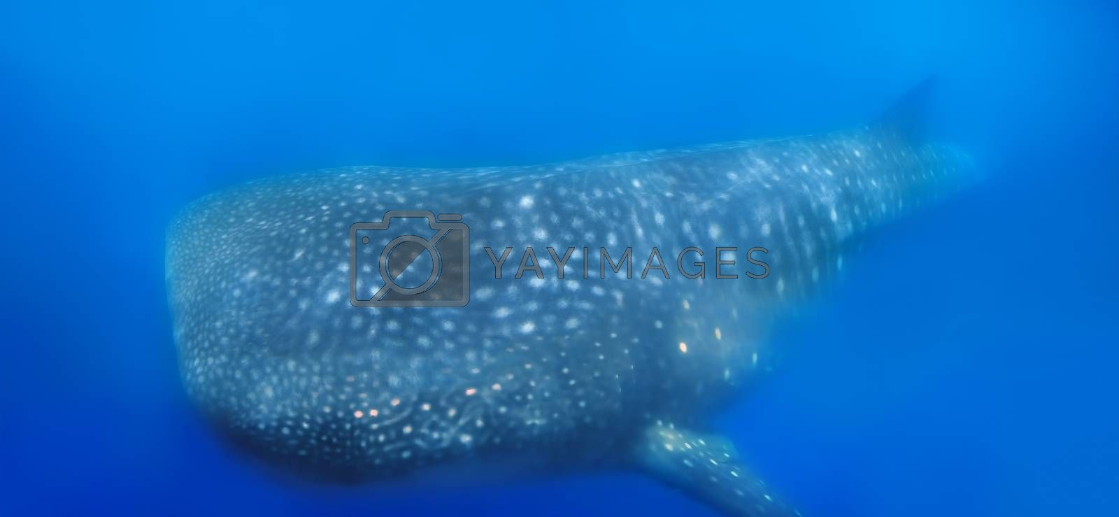 Whale Shark swimming in plankton-rich water at Donsol, Philippines