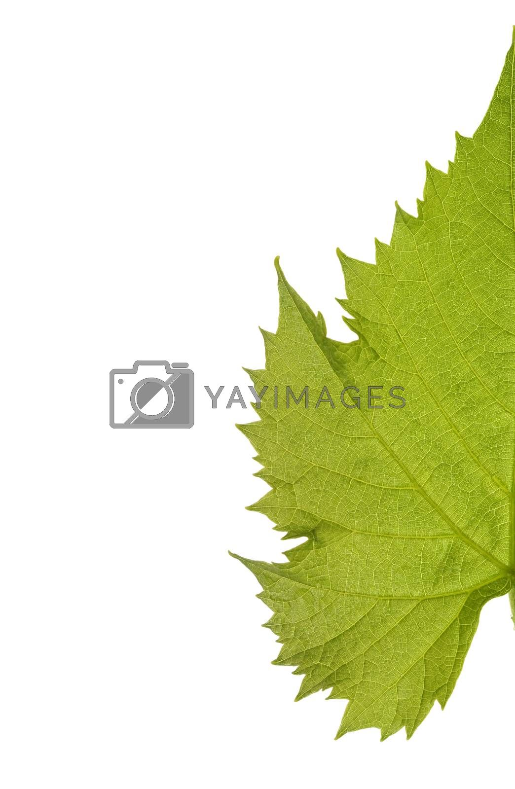 Green grape leaf isolated on white