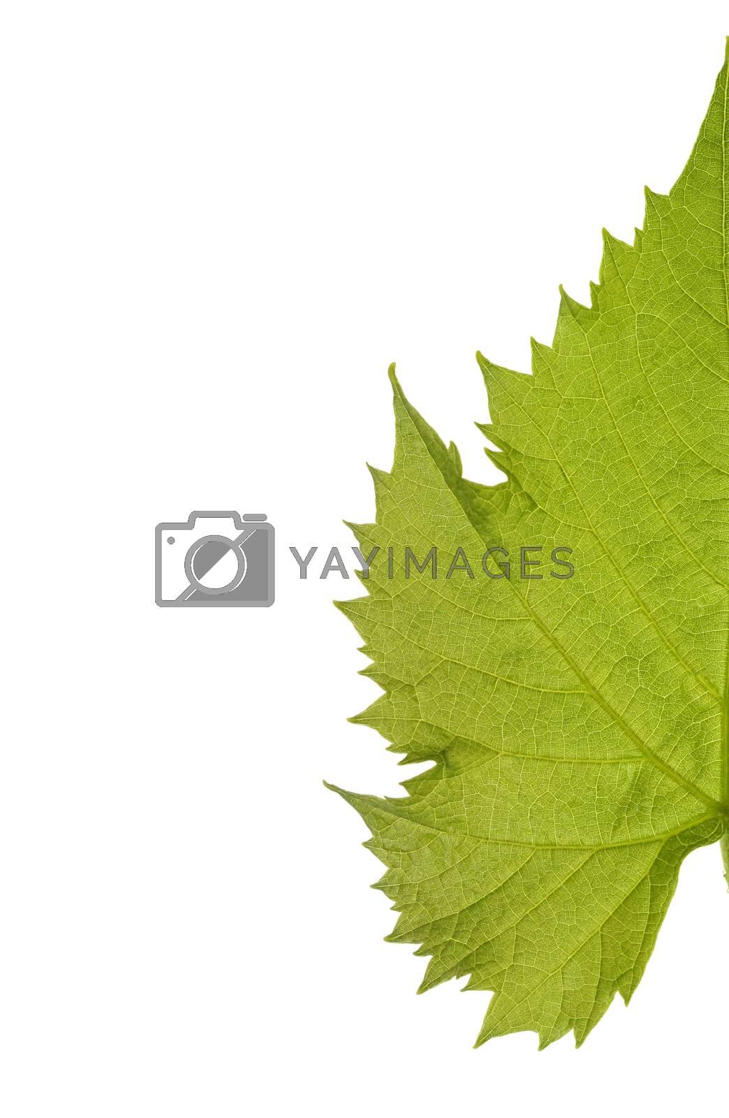 Grape leaf by arosoft