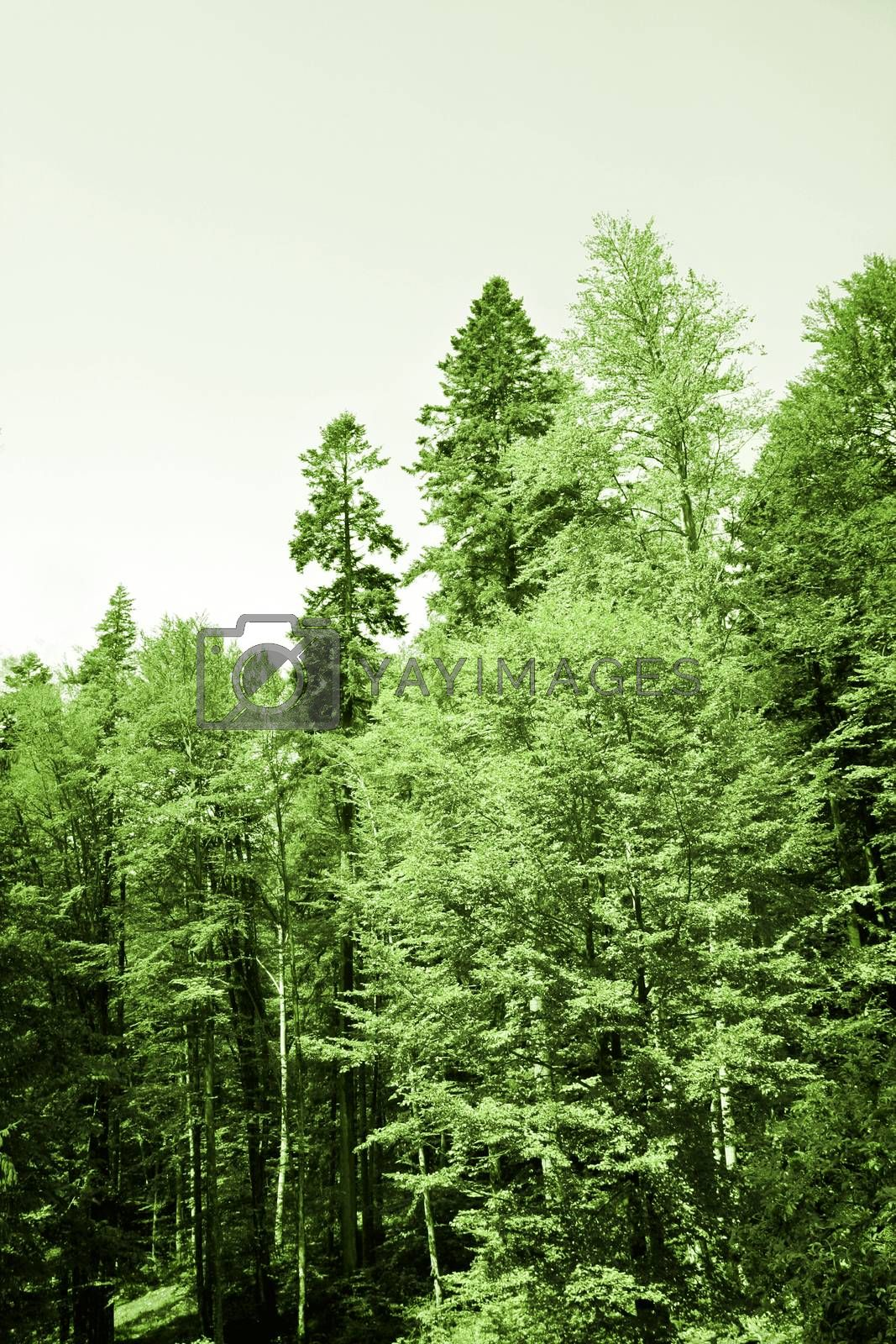 Landscape with tall green treees