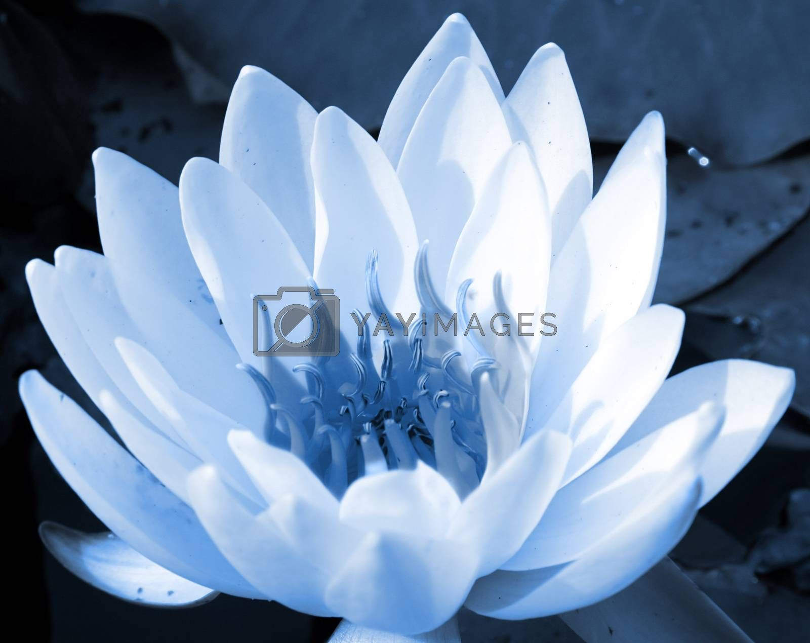 Closeup image of a white water lily