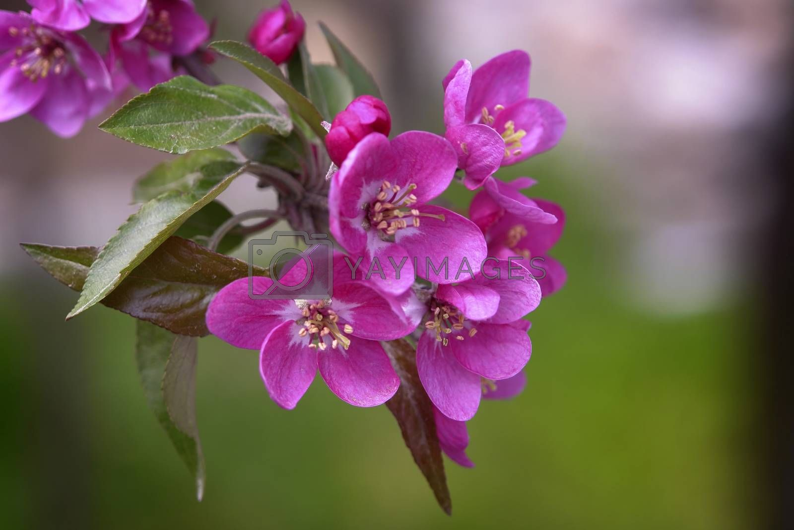 Royalty free image of Pink Blossom by selensergen