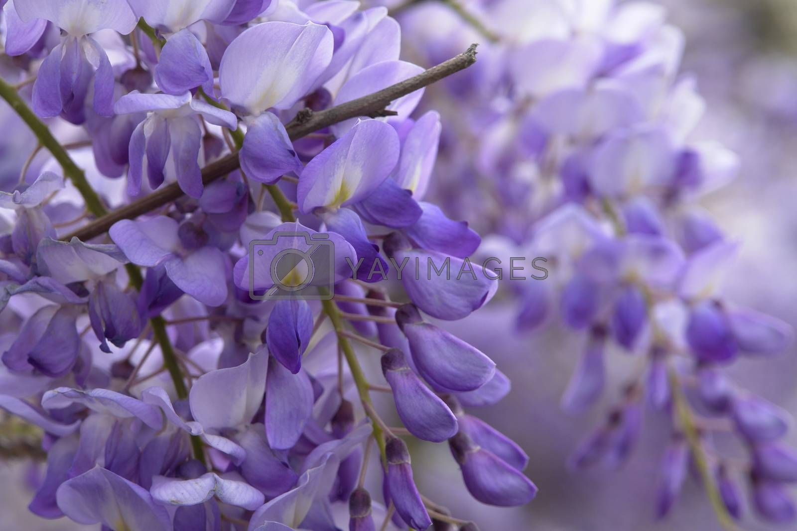 Royalty free image of Lilac Closeup by selensergen