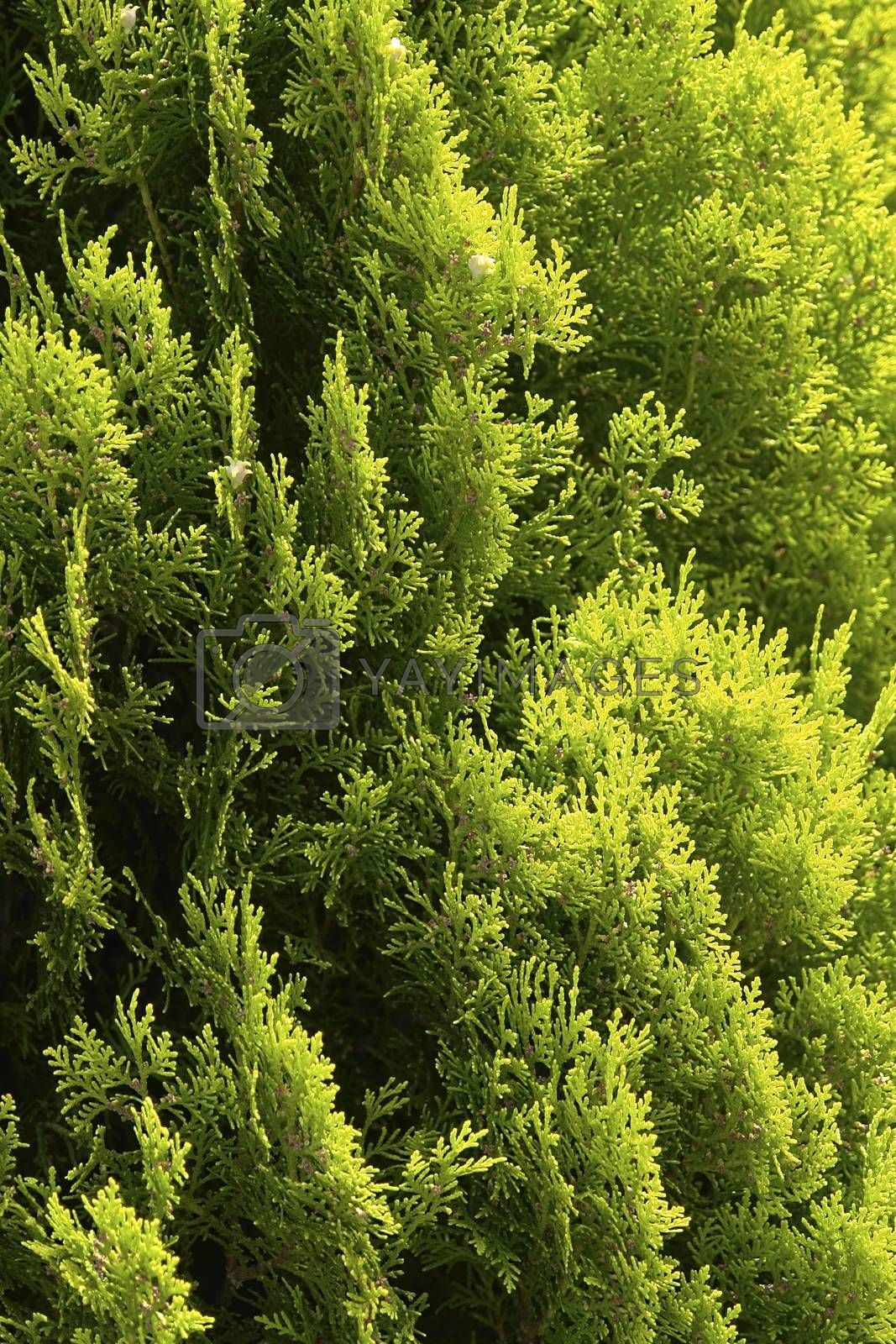 Royalty free image of Pine Cypress by selensergen