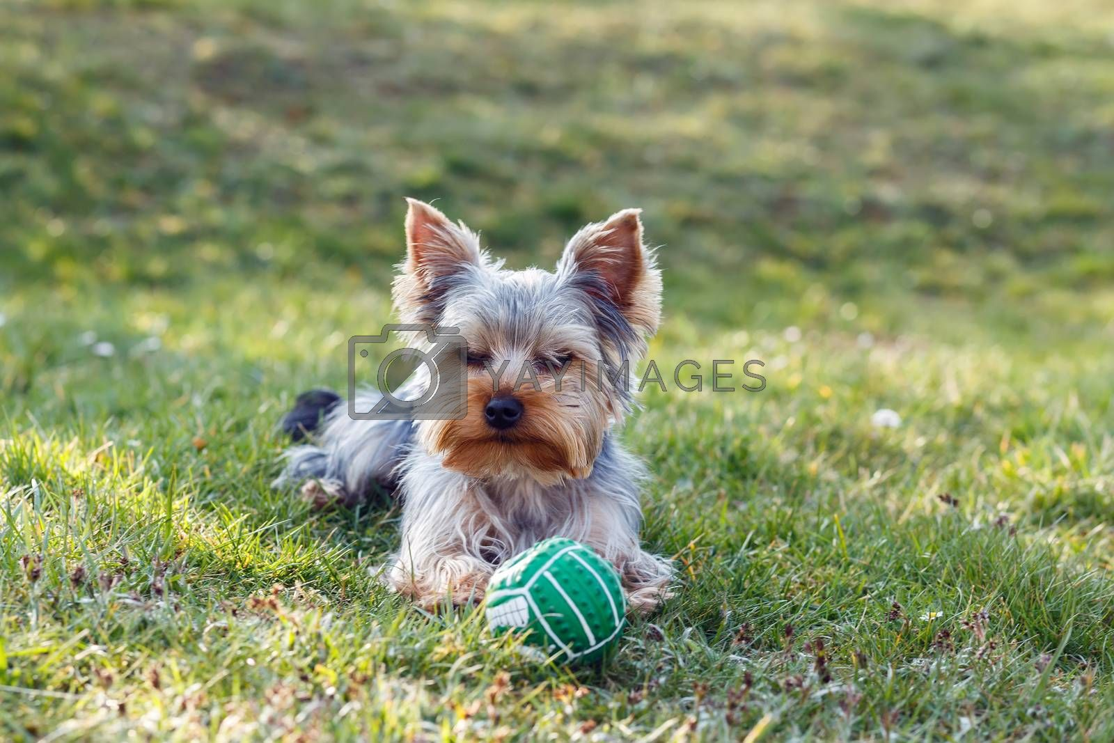Royalty free image of Cute small yorkshire terrier by artush