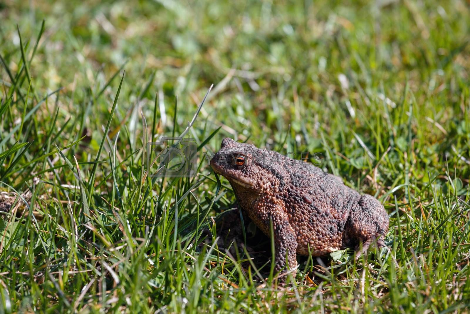Royalty free image of brown toad in the garden by artush