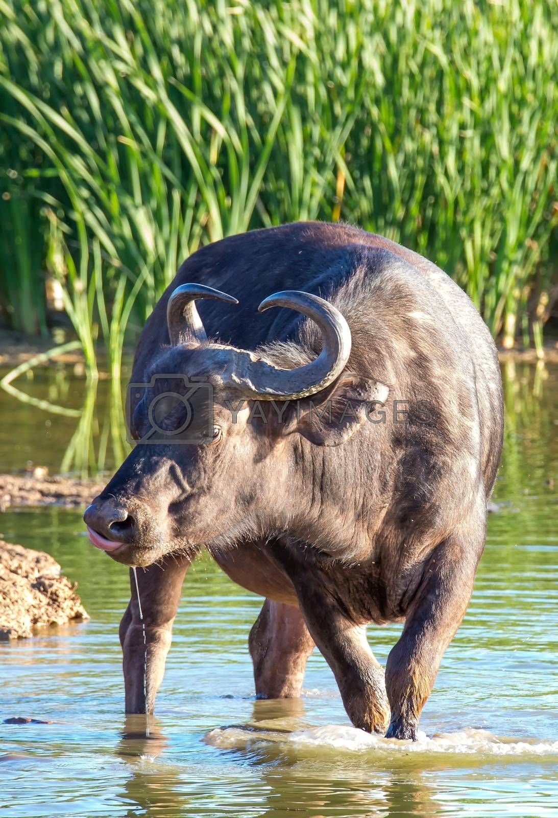 Royalty free image of African Buffalo Drinking by fouroaks