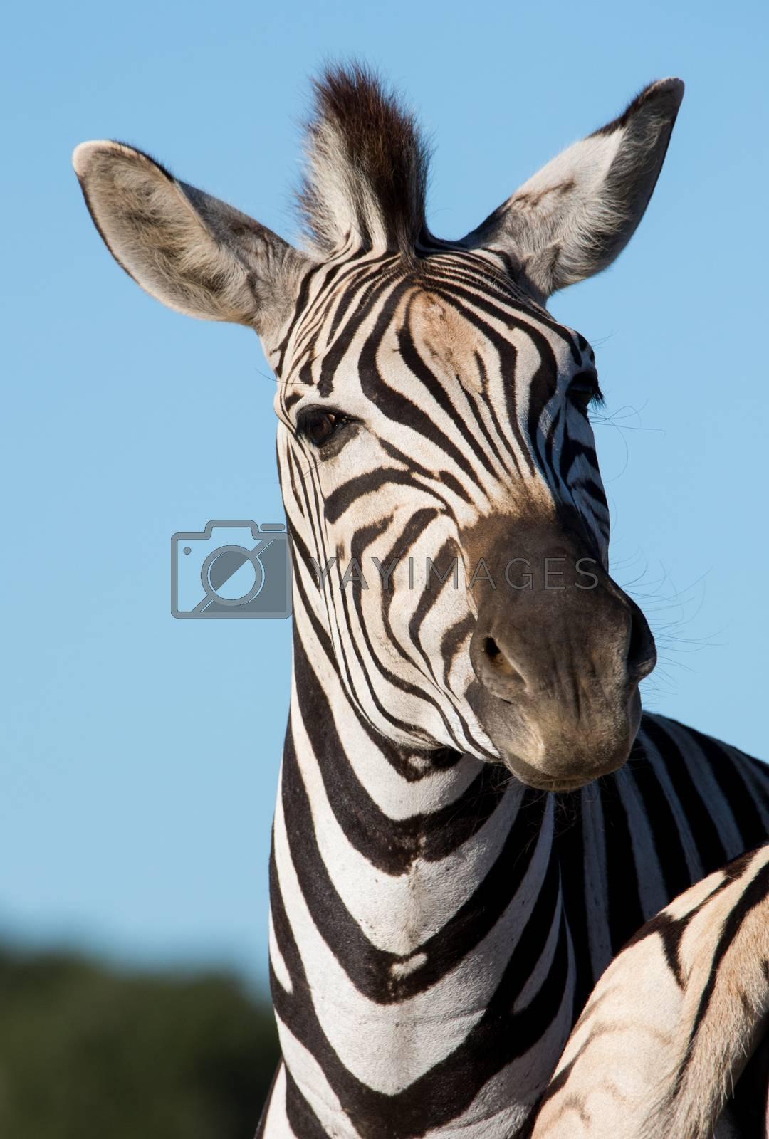 Royalty free image of Zebra Portrait by fouroaks