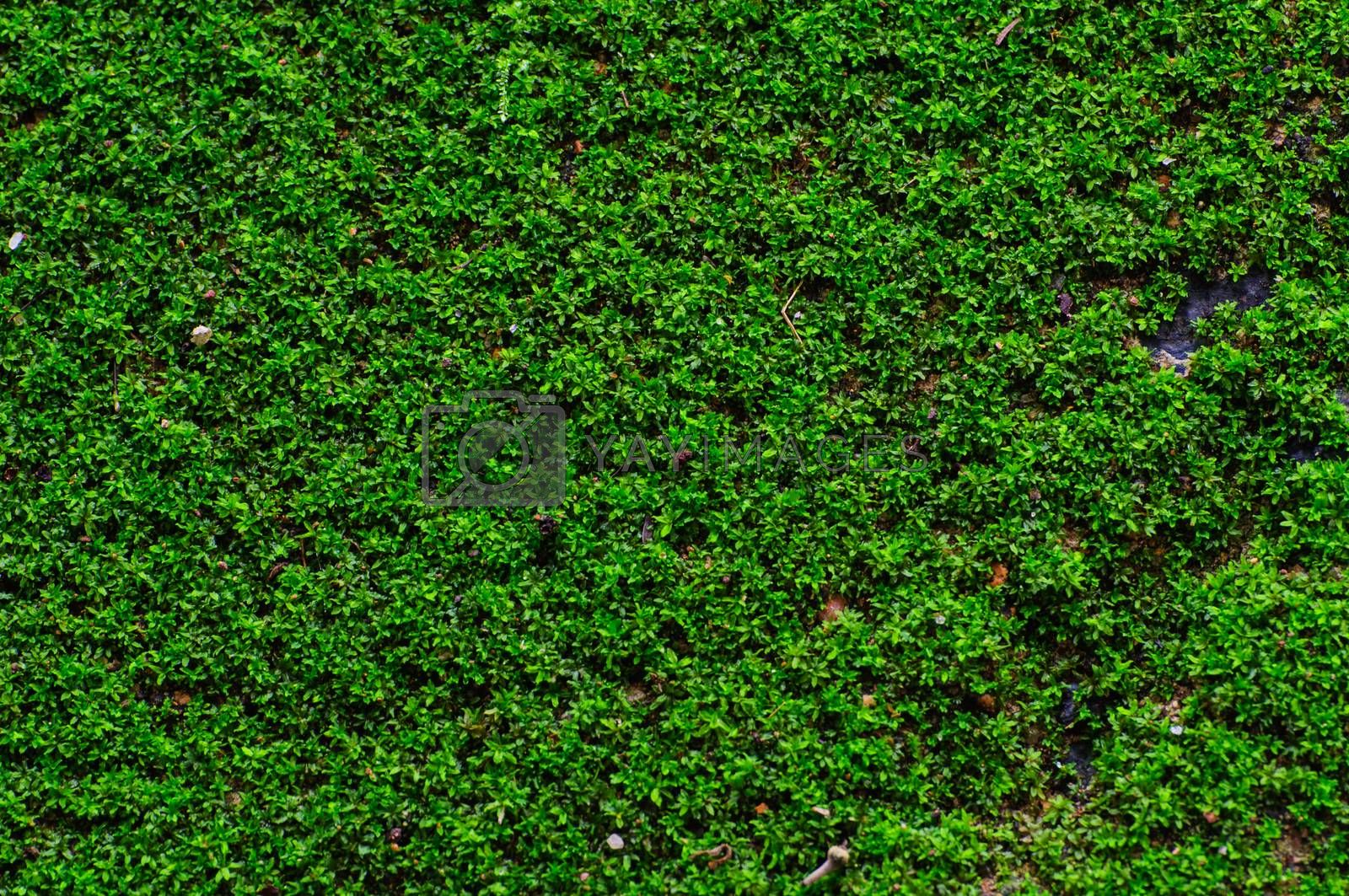 Royalty free image of Green grass texture by Sorapop