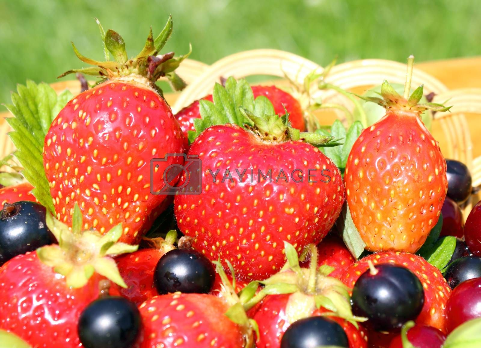 Royalty free image of Ripe berries by openas