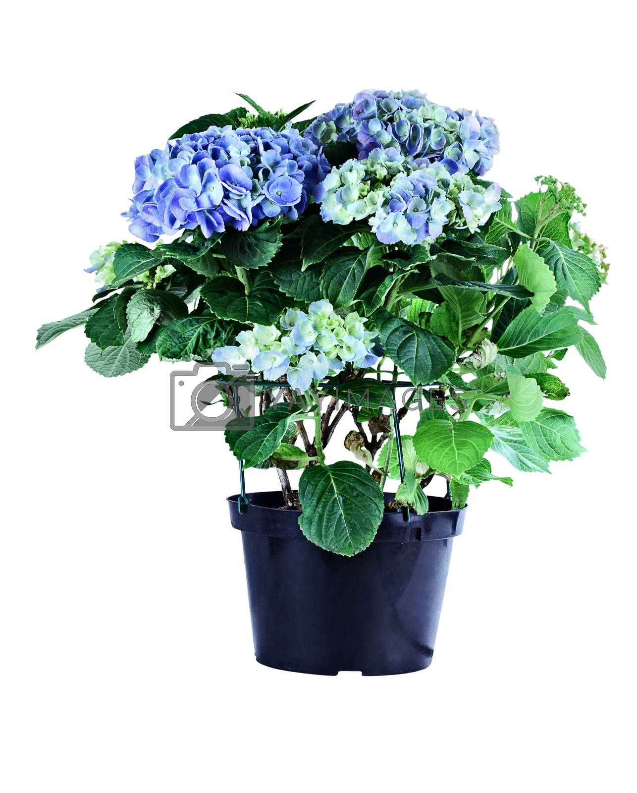 Royalty free image of Blue Hydrangea by StephanieFrey
