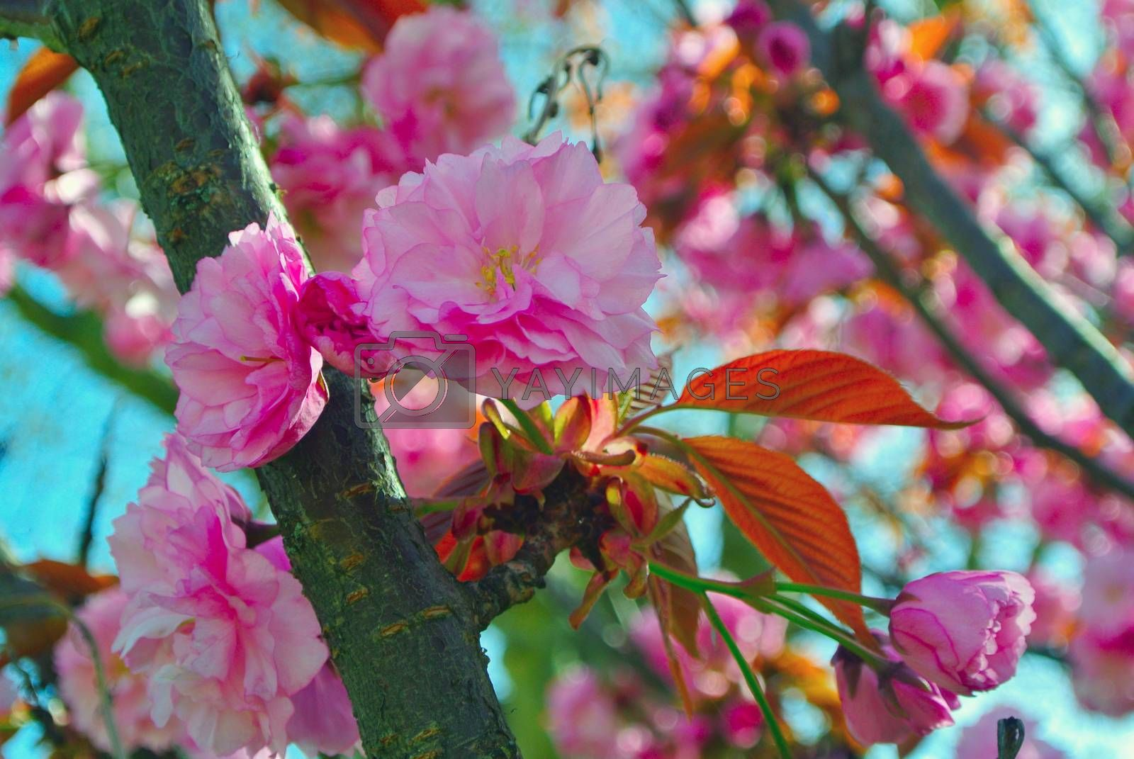 Royalty free image of Peach flowers by Koufax73