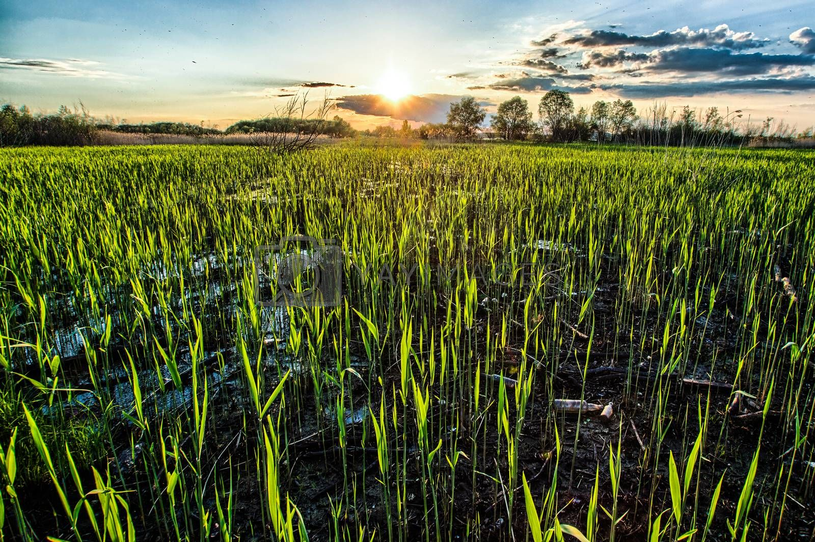 Royalty free image of Corn field by zych